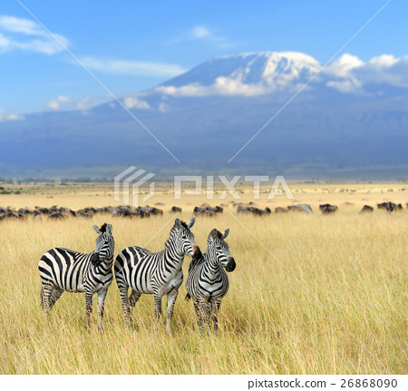 Zebra on grassland in Africa 26868090