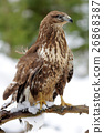 Hawk 26868387