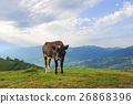 Cow on mountain pasture 26868396
