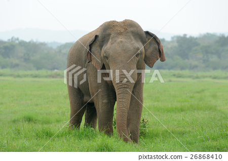Elephants 26868410