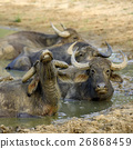 Water buffalo are bathing in a lake 26868459