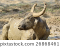 Water buffalo are bathing in a lake 26868461
