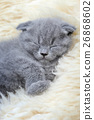 แมว,สัตว์,สัตว์ต่างๆ 26868602