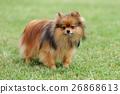 Brown Pomeranian dog 26868613