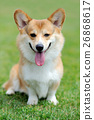 Welsh Corgi dog 26868617