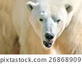 Polar bear 26868909