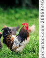 chicken, rooster, bird 26869246
