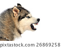 Angry dog 26869258
