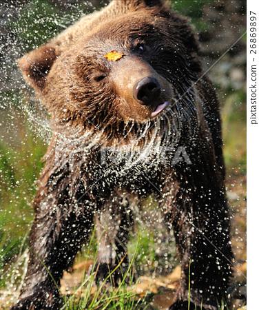 Bear 26869897