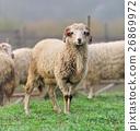 動物 農場 羊 26869972