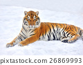 animal snow tiger 26869993