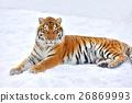 Tiger 26869993