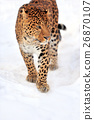 animal, leopard, snow 26870107