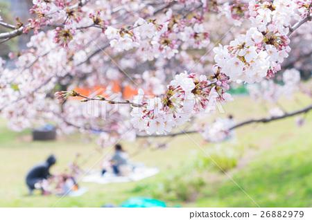 櫻花的季節櫻花在Shimei Yosino公園觀賞櫻花 26882979