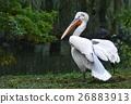 Pelican pelecanus crispus 26883913