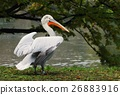 Nice white pelican 26883916
