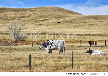 Picture of Texas Longhorns grazing. 26886054