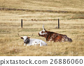 Two Texas Longhorns lying down on dry grass 26886060