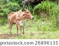 Thai cow bull 26896135