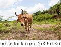Thai cow bull 26896136