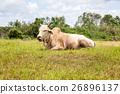 Thai cow bull 26896137