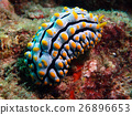 Nudibranch 26896653
