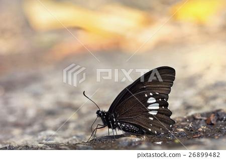 台灣蝴蝶 26899482