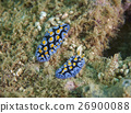 Nudibranch 26900088