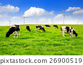 Cows on a green field. 26900519