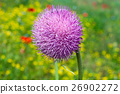 Purple flower of burdock 26902272