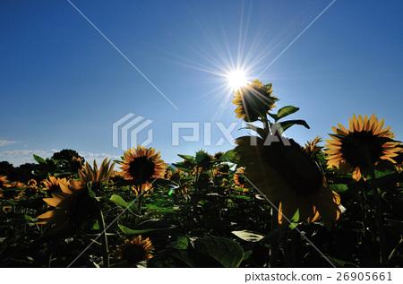 太陽和向日葵 26905661