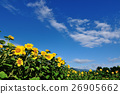 Blue sky Sunflower 26905662