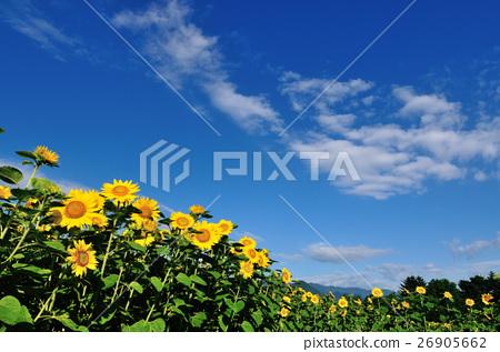 藍天向日葵 26905662