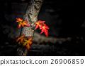 Maple leaves 26906859