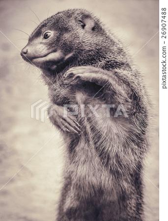 Portrait of a dwarf mongoose in sepia colours 26907488
