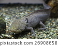 Mexican salamander 26908658