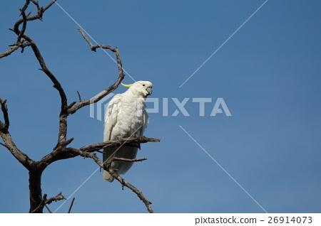 Cockatoo on a tree 26914073