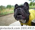 Jiggled dog sucked dog laughing dog French bulldog walk walking Funny picture Laughing dog 26914915