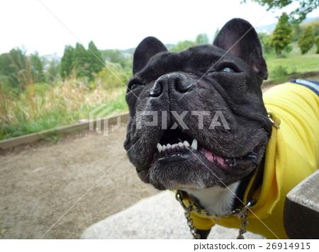 しゃくれ 개 しゃくれ 개 웃는 개 프렌치 불독 산책 재미있는 사진 Laughing dog 26914915