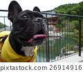 Funny dog dog French bulldog Kotoneji interesting dog 26914916