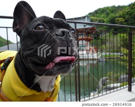 滑稽的狗狗法國牛頭犬Kotoneji有趣的狗 26914916