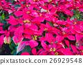 Euphorbia pulcherrima in garden 26929548