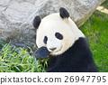 熊猫 26947795