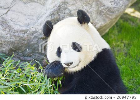 熊猫 大熊猫 吃 26947795