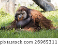 Image of a big male orangutan orange monkey. 26965311