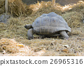 Image of a turtle (Geochelone sulcata) 26965316