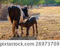 A newborn cow drink milk from mother 26973709