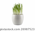 Decorative grass in flowerpot. Isolated on white  26987523
