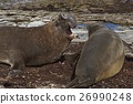 Southern Elephant Seals 26990248