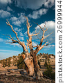 Bristlecone pine in the White Mountains 26999944